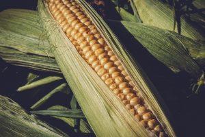non-gmo maize trading
