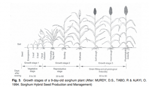 Sorghum growth stages